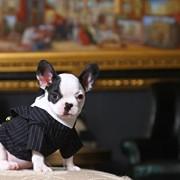 Doggy Dolly F009 Nadelstreifen Smoking für Hunde Zwei Pfoten, schwarz/weiß, Größe : XXL